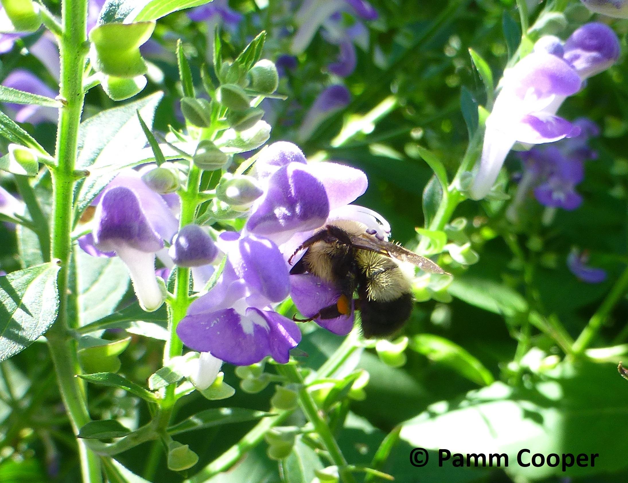 bee on hyssop skullcap August 2020
