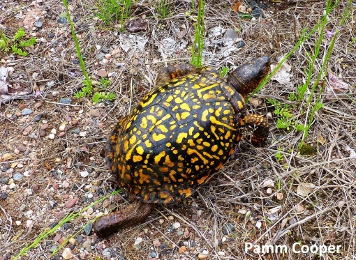 box turtle crossed road day after rain 5-30-16 Pamm Cooper photo