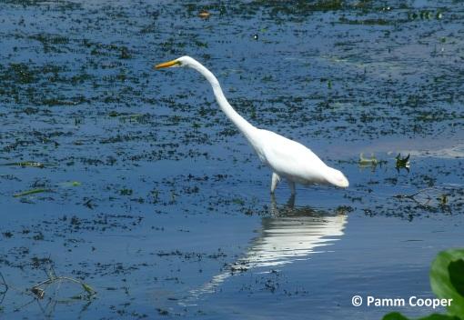 great egret on river bank