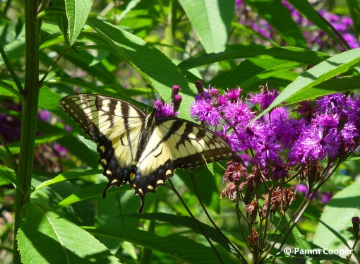 ironweed and tiger swallowtail - Copy