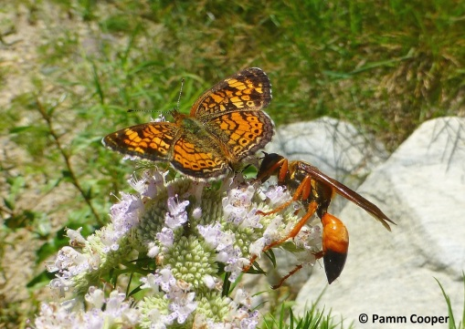 pearl cresent and digger wasp on mint