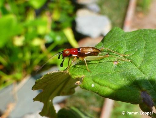 red headed bush cricket