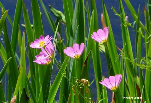 Sabatia large marsh pink possibly s amethystinum