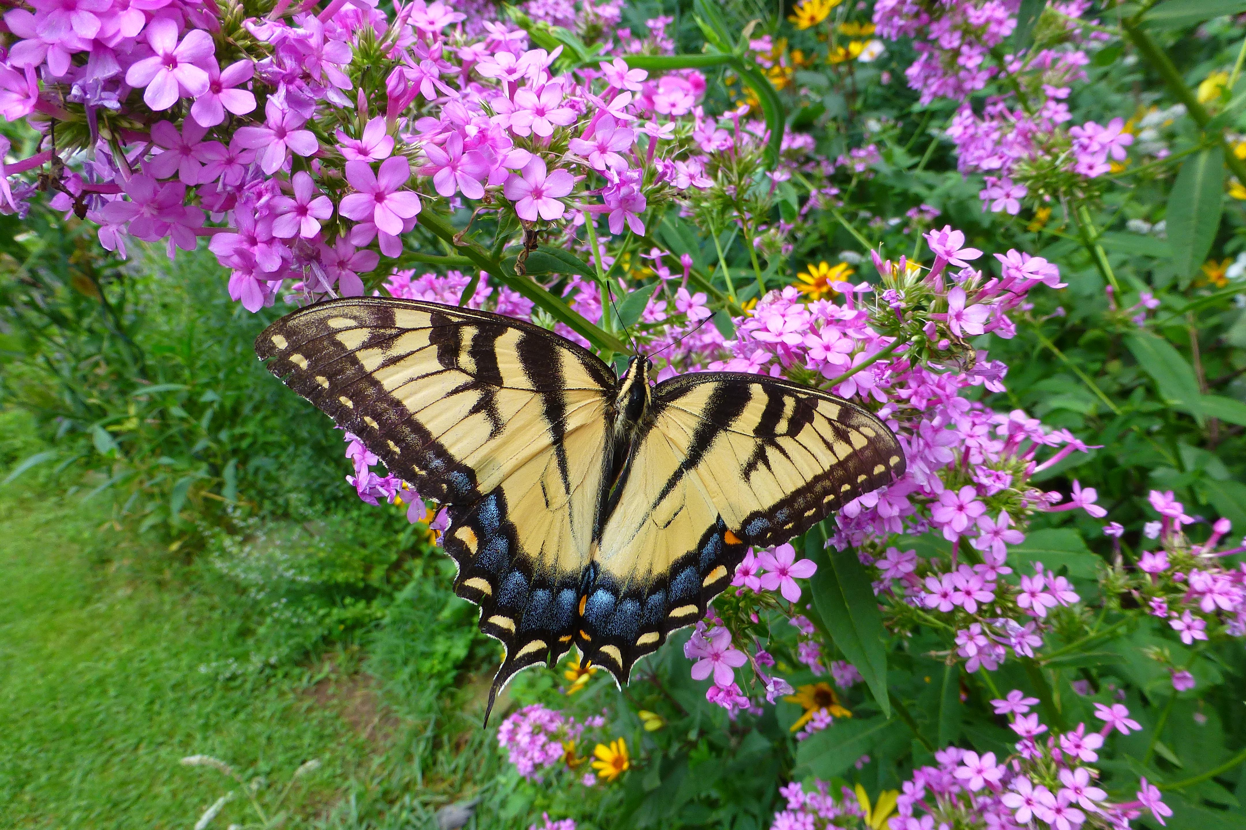 tiger swallowtail on phlox at Sues