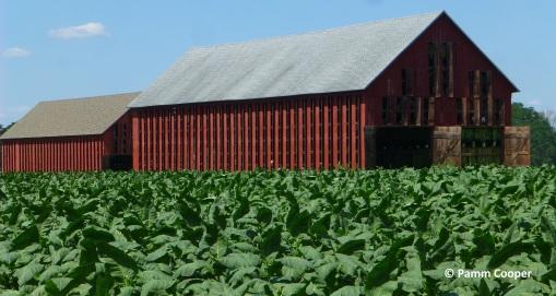 tobacco field and barn Glastonbury