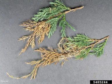 B1 phomopsis juniper Bruce Watt bugwood.org