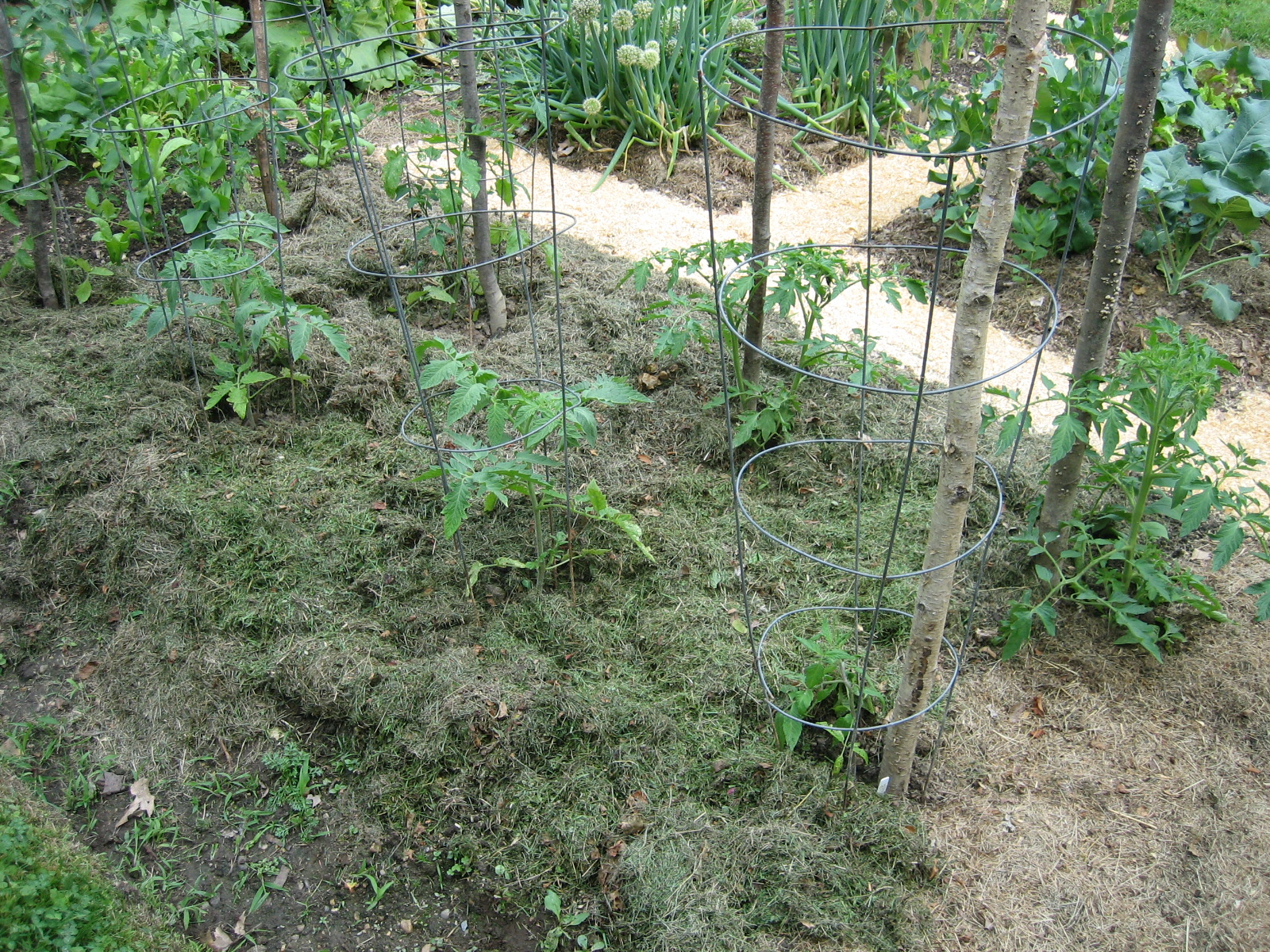 Tomatoes mulched with grass