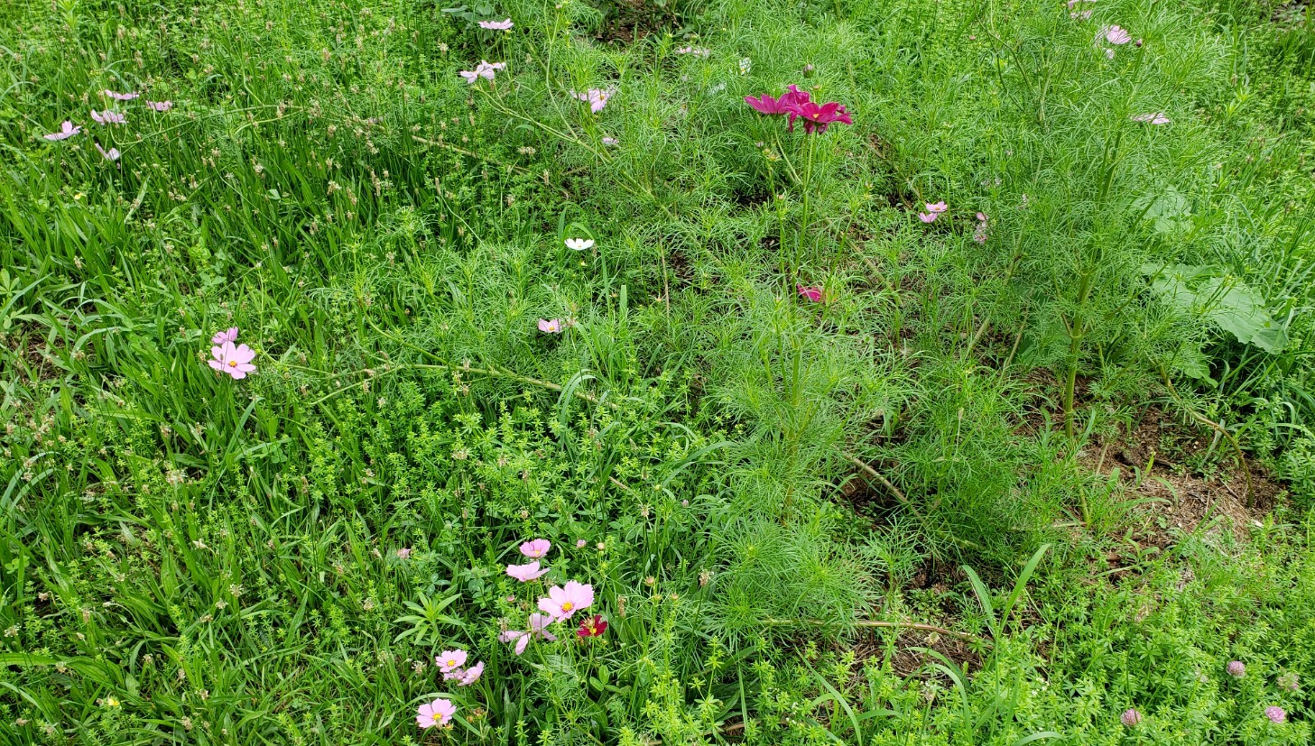 7-15 Cosmos spilling into the lawn ML