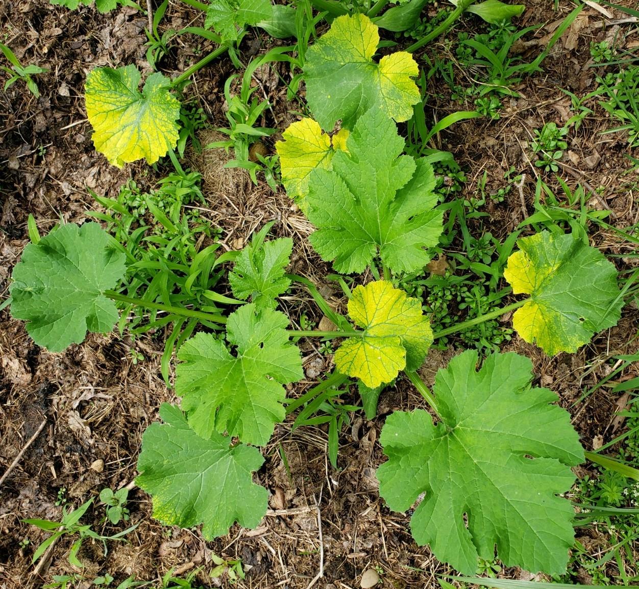 7-15 Yellowing Zuchinni plant ML