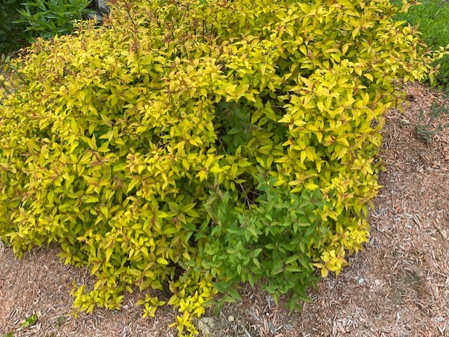 spirea with solid green branch
